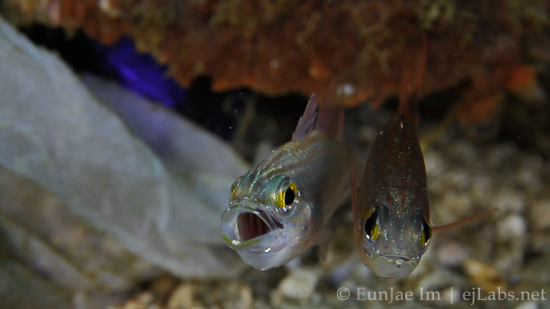 Cardinalfish Mating Dance