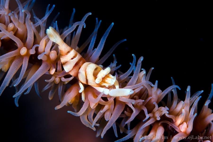 Anker's Whip Coral Shrimp – Pontonides ankeri