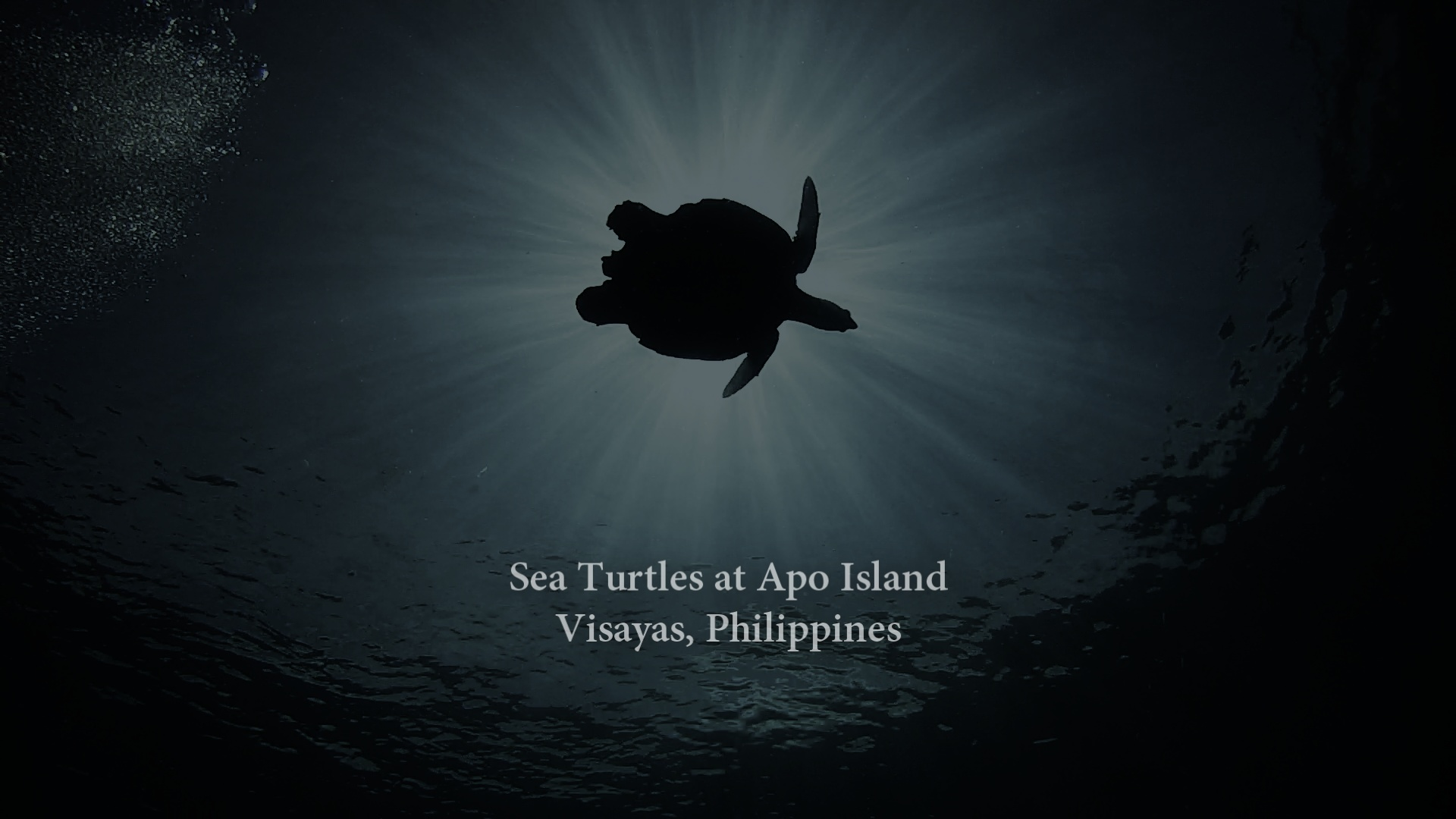 Sea Turtles at Apo Island