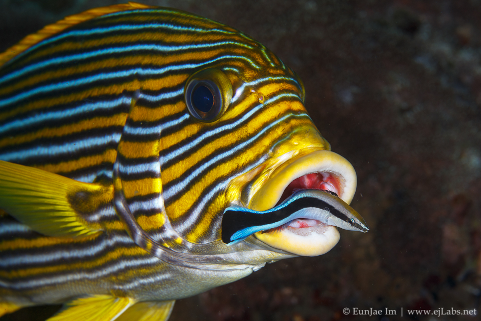 Cleaning station – Cleaner wrasse