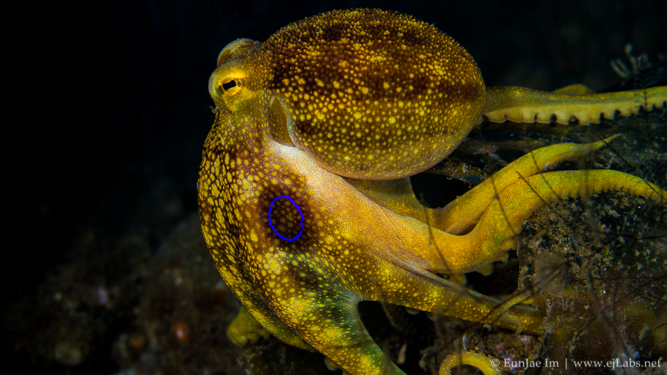 Mototi Octopus – Poison occelate Octopus