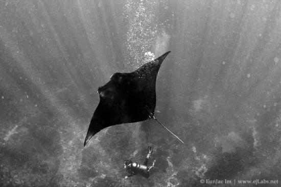 무게 1톤의 거대한 만타 가오리 – Manta ray (나레이션)
