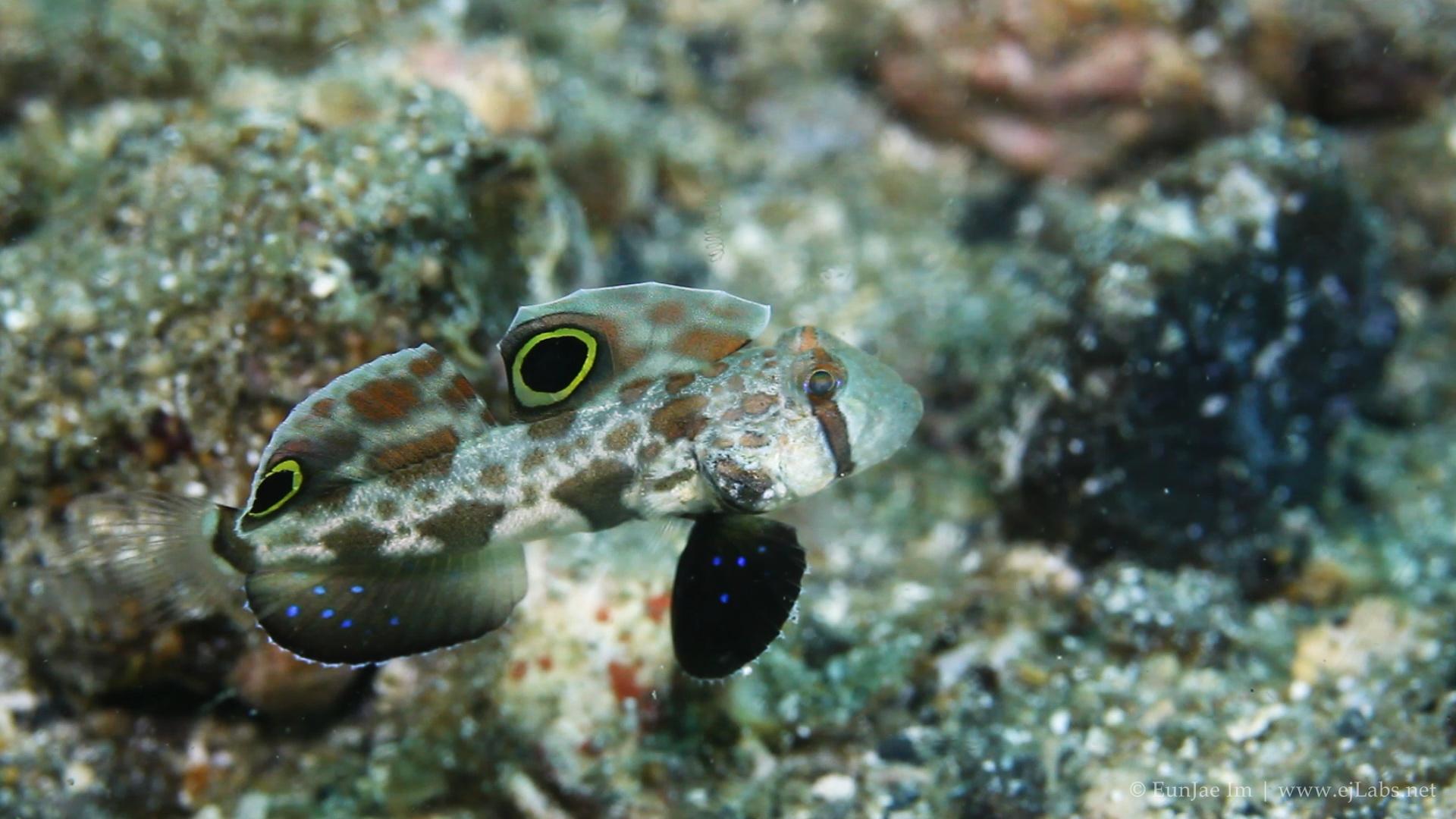 Signal goby – Signigobius biocellatus