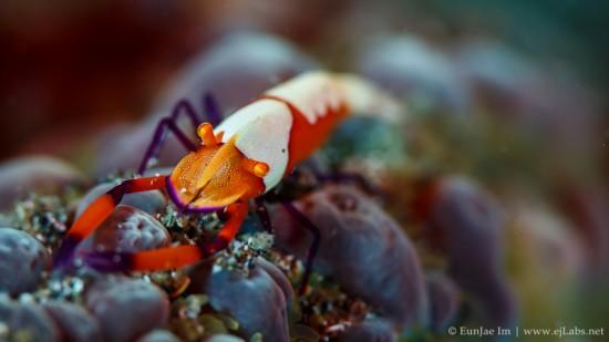 Imperial Shrimp - Periclimenes imperator