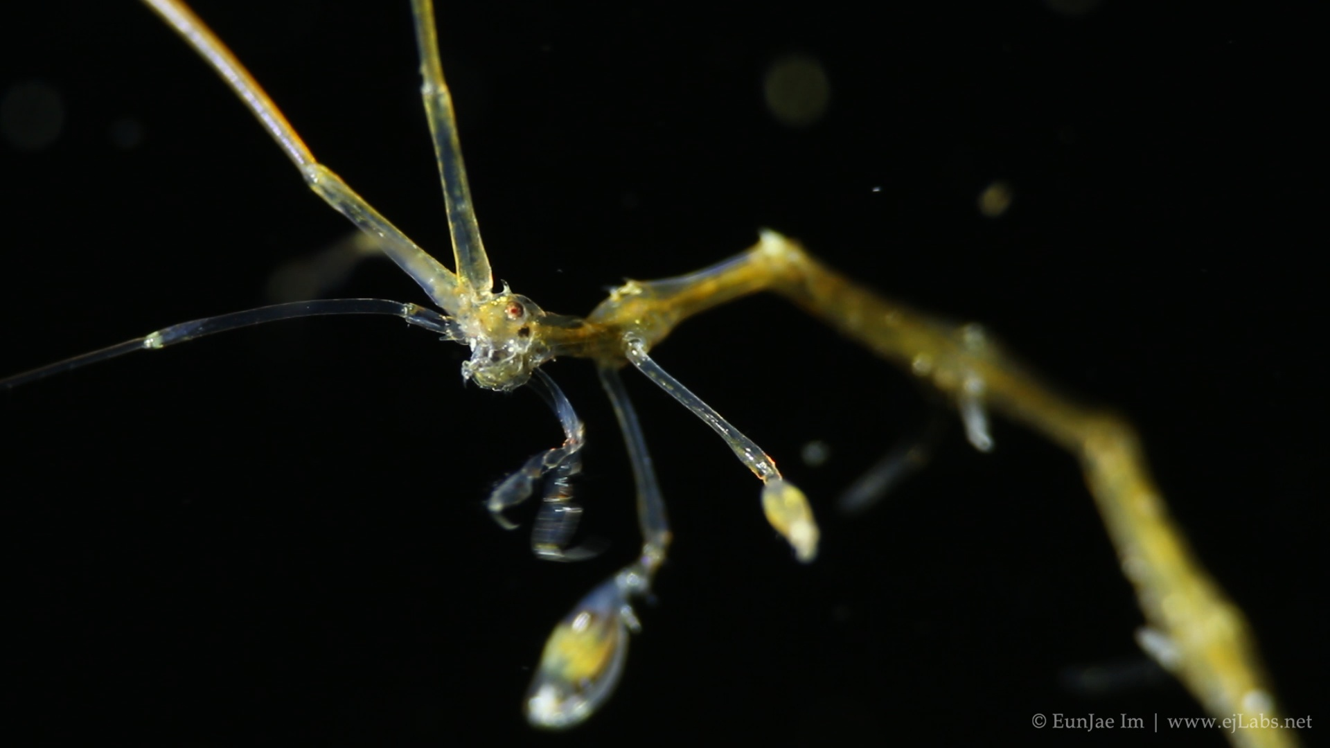 Skeleton Shrimps – Caprellidae : Part 2