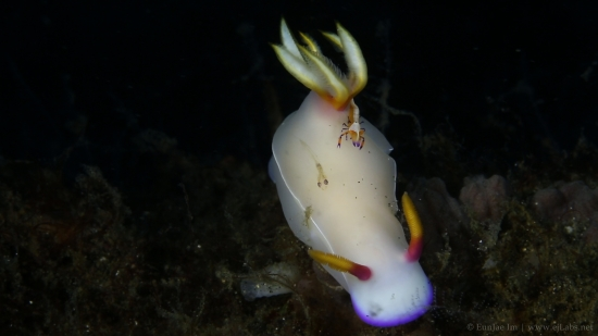 Hypselodoris Bullocki & Friends