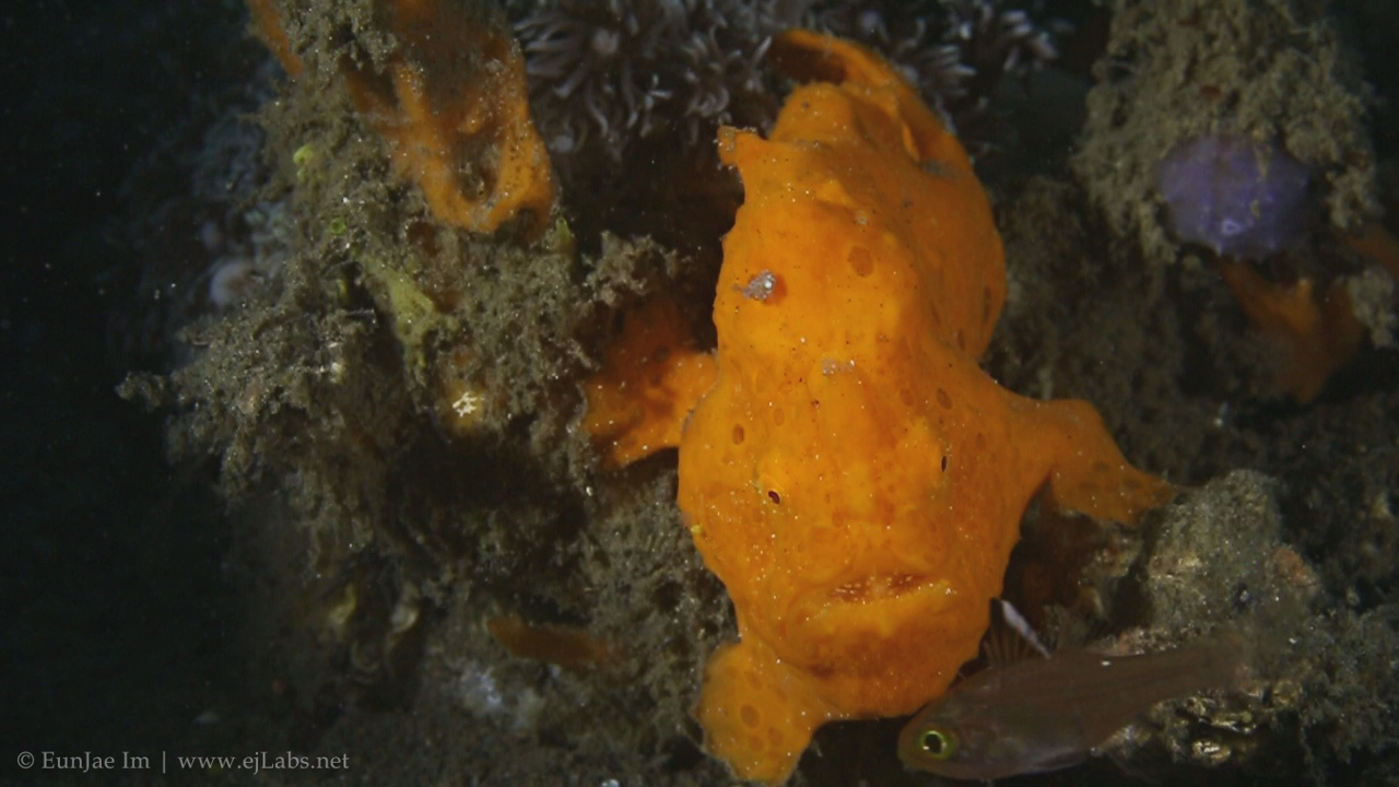 Frogfish hunting slow motion