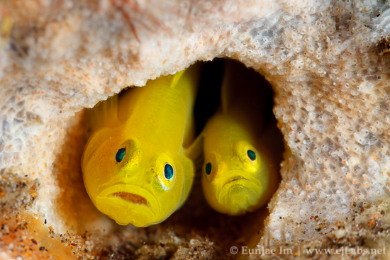 Yellow Pygmy Goby