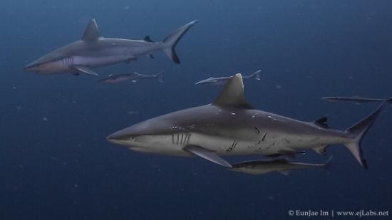 Maldives Grey Reef Sharks