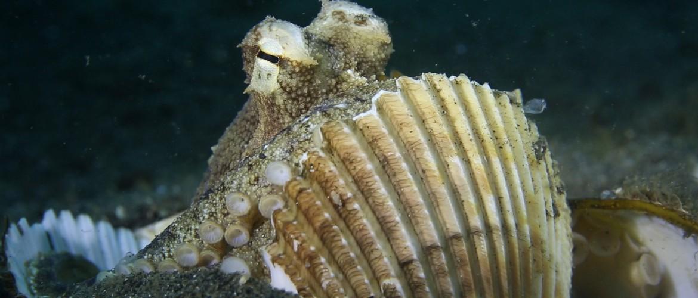 도구를 사용하는 문어 | 코코넛 문어 | Coconut Octopus Use Shells as a Shield