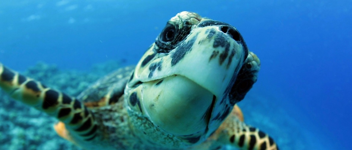 Curious-turtle-in-Maldives