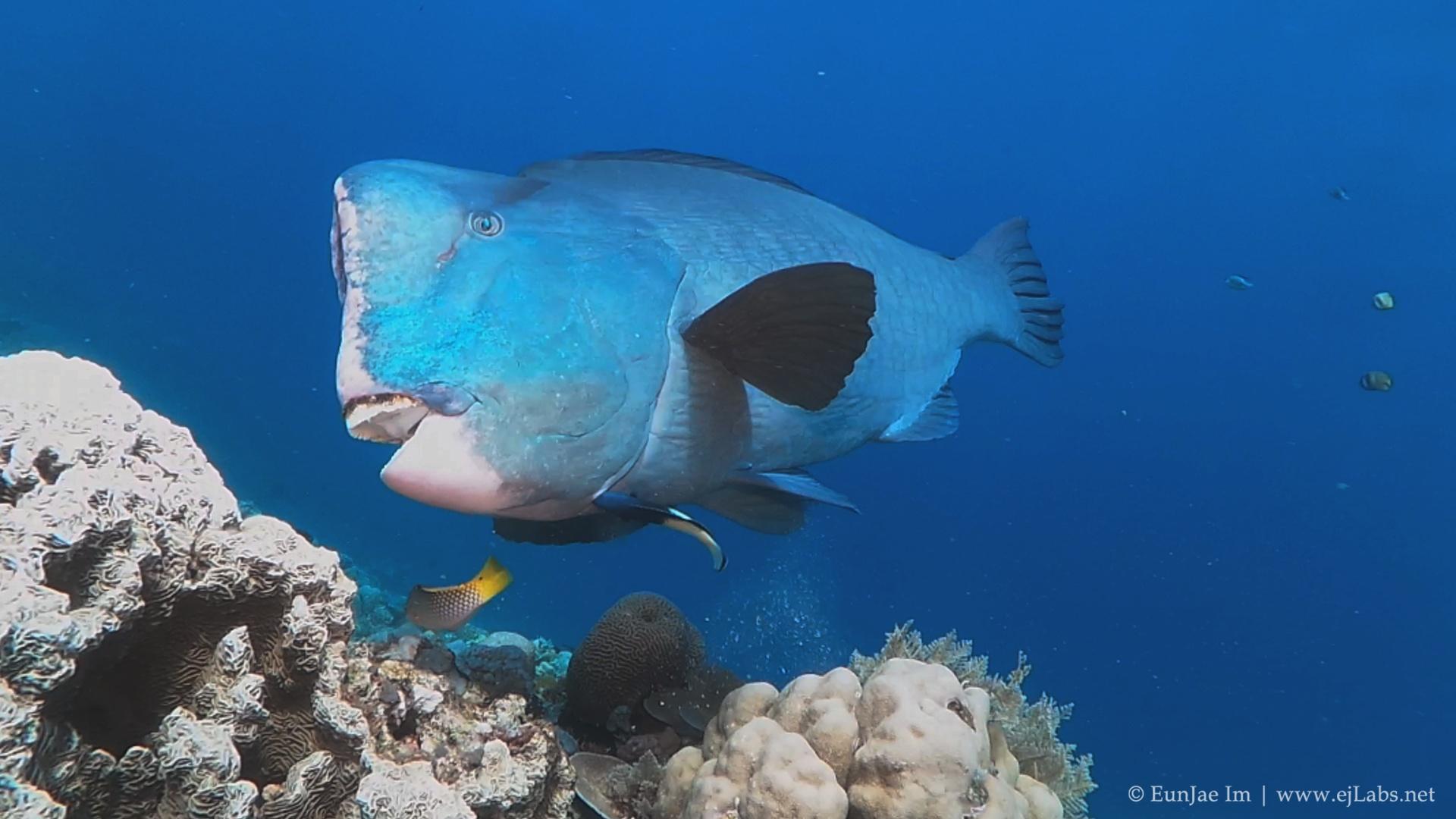 Feeding Humphead Parrotfish