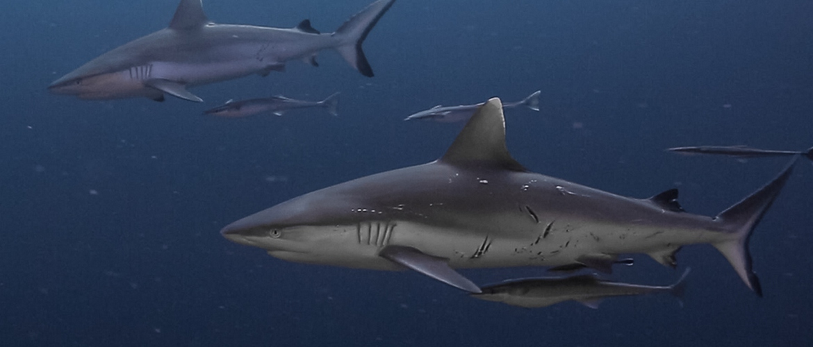 Maldives Grey Reef Sharks