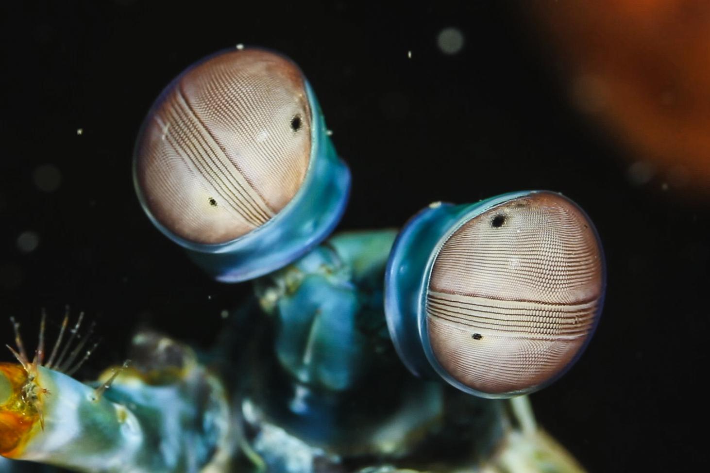 Mantis mantis mantis shrimp