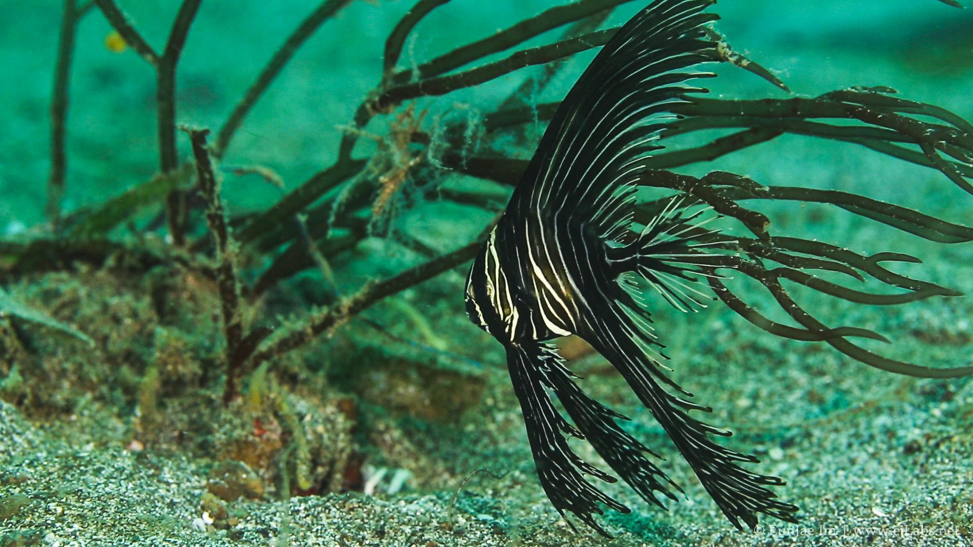 Zebra Batfish - Juvenile Batavia Spadefish