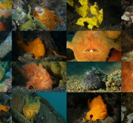 Frogfish footage by EunJae Im