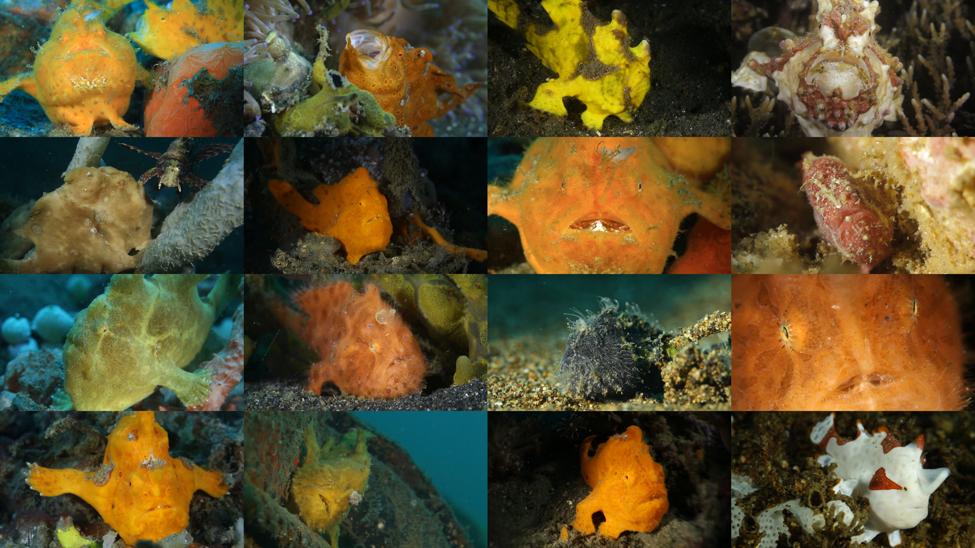 I Love Frogfish