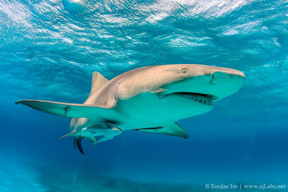 바하마 타이거 비치 – 상어 다이빙