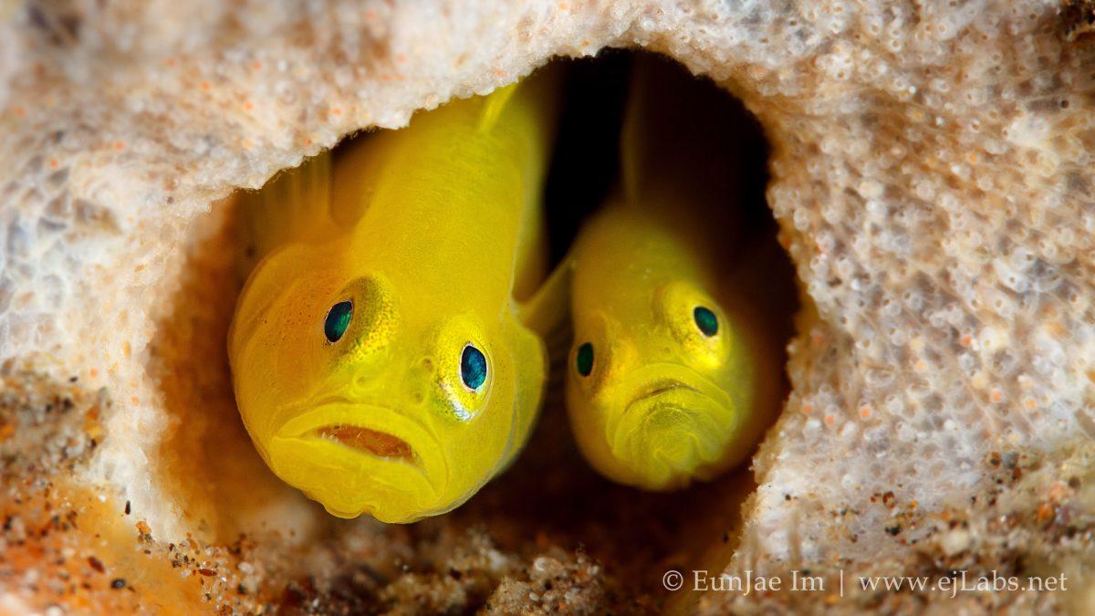 옐로우 피그미 고비 – Yellow Pygmy Goby