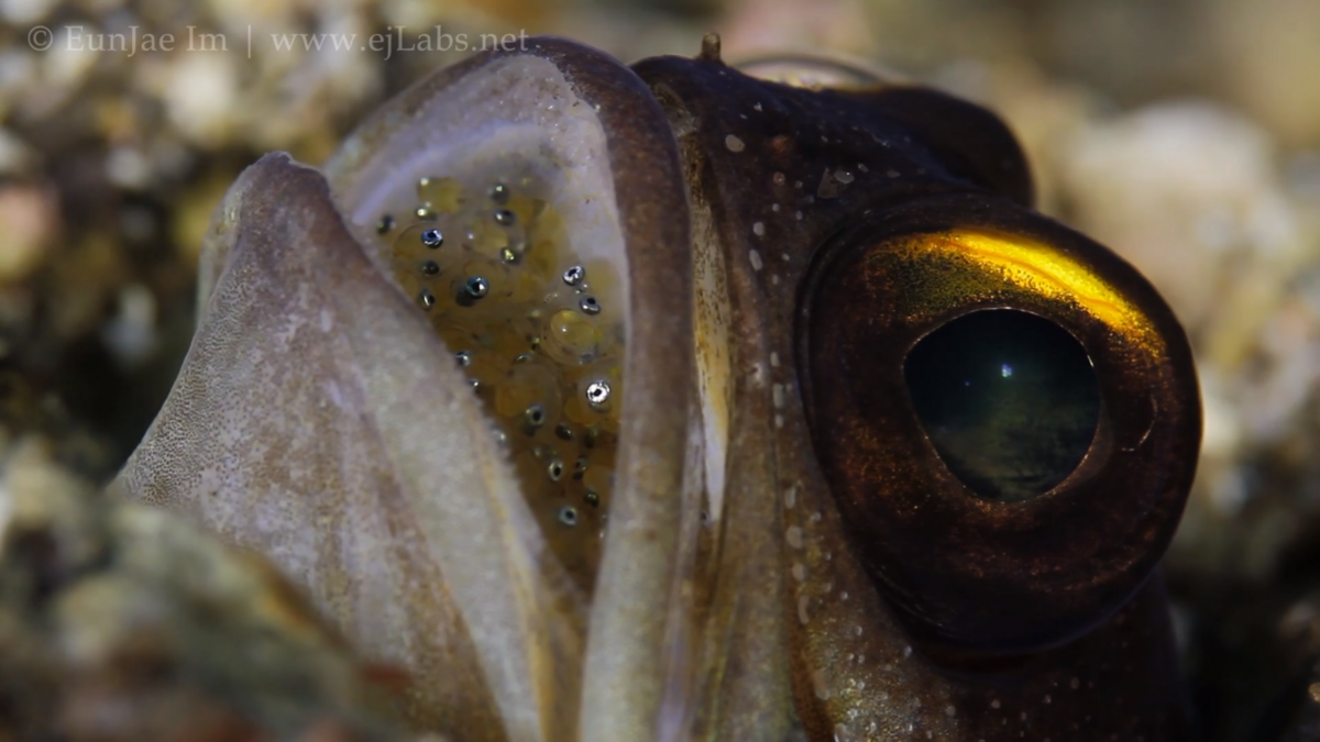 Mouthbrooding Jawfish