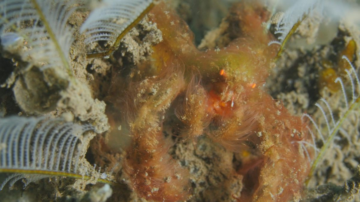 오랑우탄 크랩 | Orang Utan Crab (Achaeus japonicus)Tending Eggs