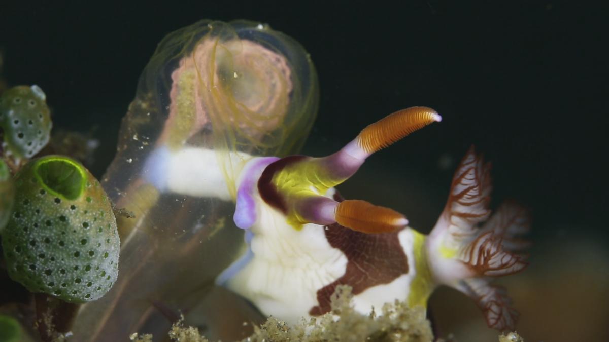 멍게를 먹고 있는 갯민숭달팽이 | Nudibranch feeding on tunicate