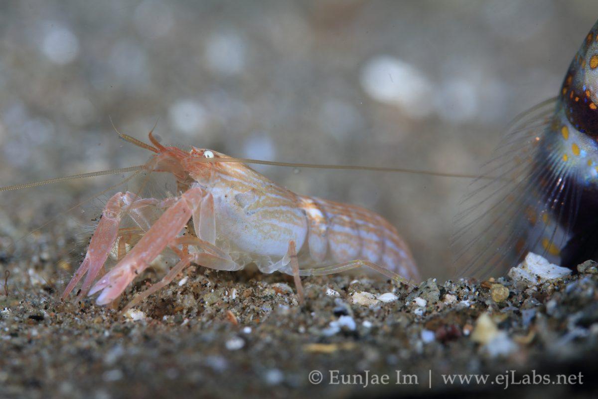 고비와 장님 새우 | Goby and Blind Shrimp